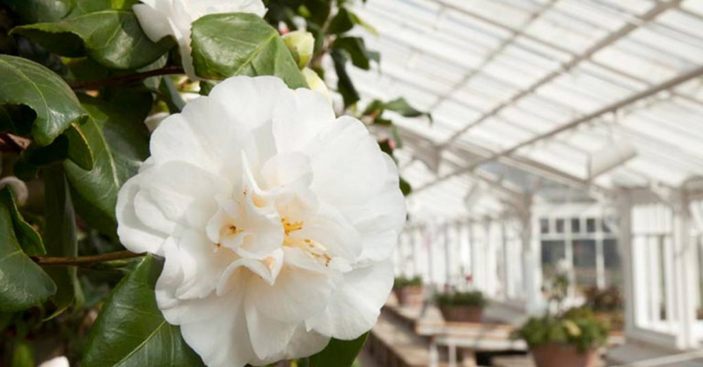 Whie Camellia Japonica Alba